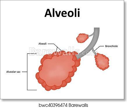 Art Print of Alveoli Alveolar Sac of the Lung | Barewalls Posters ...