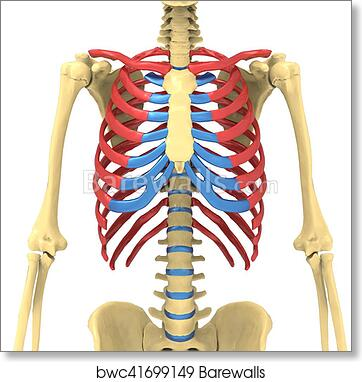 Art Print of 3d illustration of human body ribs cage anatomy ...