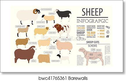 Sheep breed infographic template  Farm animal  Flat design art print poster