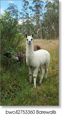 art print of baby llama with trees in background scientific name