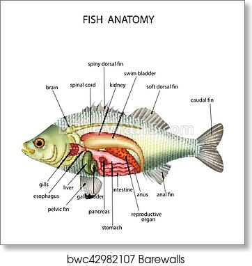 Art Print Of Anatomy Of Fish Barewalls Posters Prints Bwc42982107