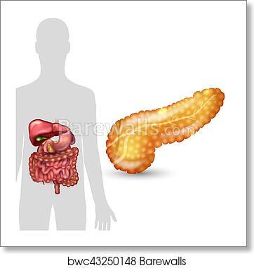 Art Print of Pancreas anatomy and human silhouette with internal ...