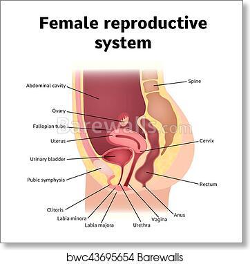 Art Print of Reproductive system   Barewalls Posters & Prints ...