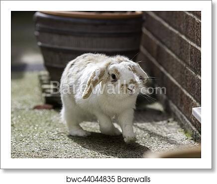 Dwarf Lop Eared Rabbit Art Print Barewalls Posters Prints Bwc44044835