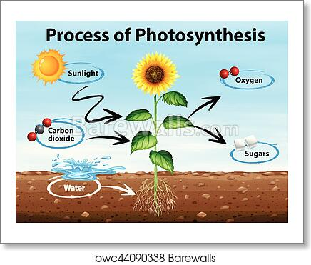Art Print Of Diagram Showing Process Of Photosynthesis Barewalls