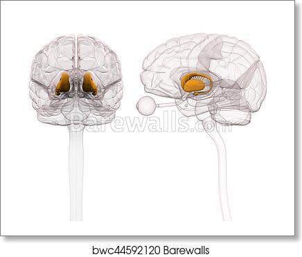 Art Print of Basal Ganglia - Anatomy Brain - 3d illustration ...