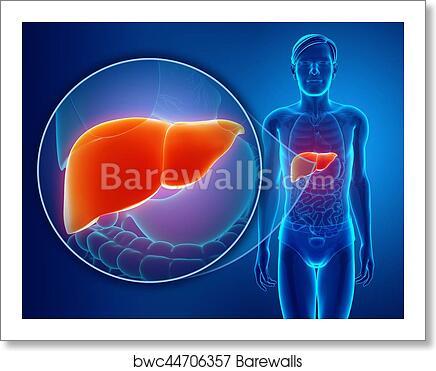 Art Print of 3d Render of Male liver anatomy | Barewalls Posters ...