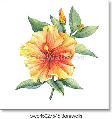 Yellow Red Hibiscus Flower Hand Drawn Watercolor Painting On White