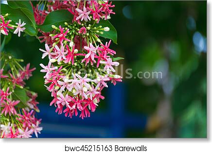 Art print of pink flowers blossom quisqualis indica flower plant art print of pink flowers blossom quisqualis indica flower plant chinese honeysuckle rangoon creeper or combretum indicum mightylinksfo