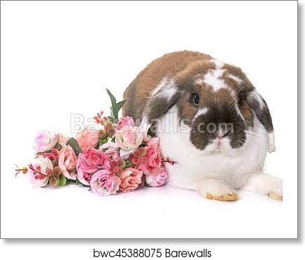 Dwarf Lop Eared Rabbit Art Print Barewalls Posters Prints Bwc45388075