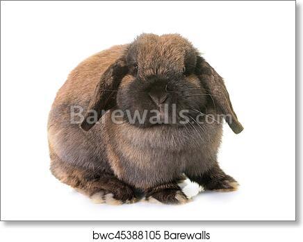 Dwarf Lop Eared Rabbit Art Print Barewalls Posters Prints Bwc45388105