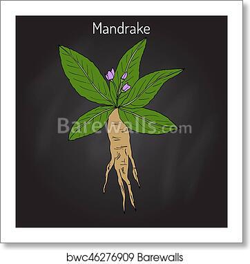 Mandrake root or Mandragora officinarum, Art Print | Barewalls Posters &  Prints | bwc46276909