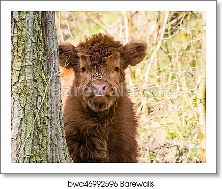 Scottish Highland Cow Calf Art Print Poster