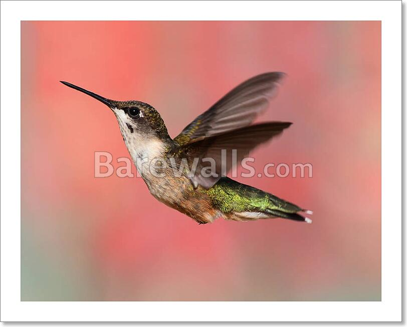 Ruby throated hummingbird in flight art print canvas print for Hummingbird decor