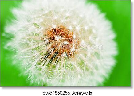 Fiore Dente Di Leone Macro Con Sfondo Verde Art Print Barewalls
