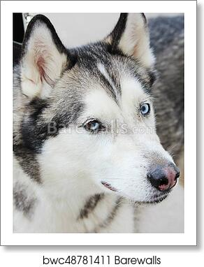 White And Gray Adult Siberian Husky Dog Or Sibirsky Husky With Blue and  Brown Eyes  Heterochromia  art print poster