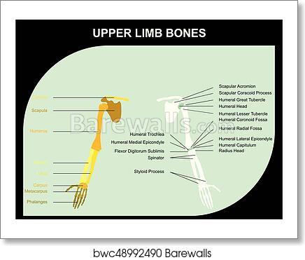 Art Print Of Upper Limb Bones Anatomy Barewalls Posters Prints