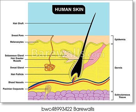 human skin cross section anatomy diagram, art print | barewalls posters &  prints | bwc48993422