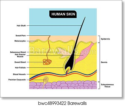 Art Print Of Human Skin Cross Section Anatomy Diagram Barewalls