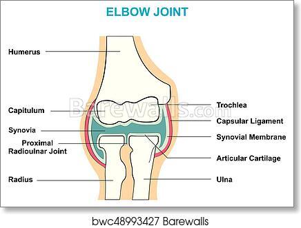Unlabeled Diagram Of Elbow - DIY Enthusiasts Wiring Diagrams •