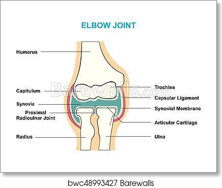 Art Print Of Elbow Joint Cross Section Anatomy Diagram Barewalls