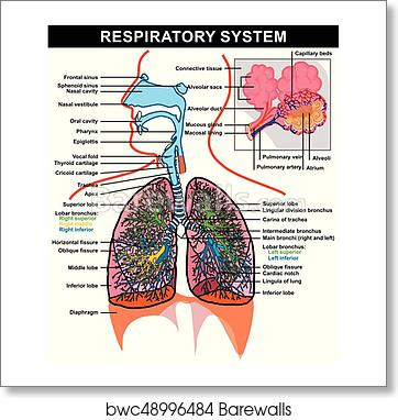Art print of respiratory system anatomy diagram barewalls posters art print of respiratory system anatomy diagram ccuart Choice Image