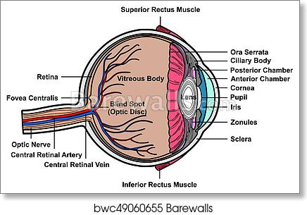 Art Print Of Human Eye Cross Section Anatomy Diagram Barewalls