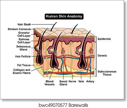 Art Print Of Human Body Skin Anatomy Diagram Barewalls Posters