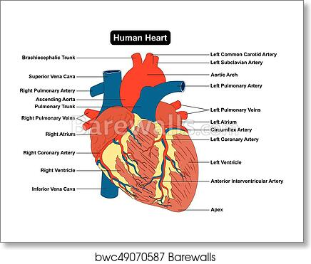 Art Print Of Human Heart Muscle Structure Anatomy Diagram