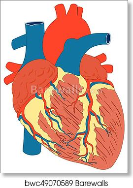 Muscle Diagram Heart - Block And Schematic Diagrams •