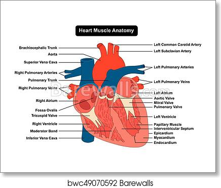 Art Print of Human Heart Muscle structure Anatomy Diagram ...
