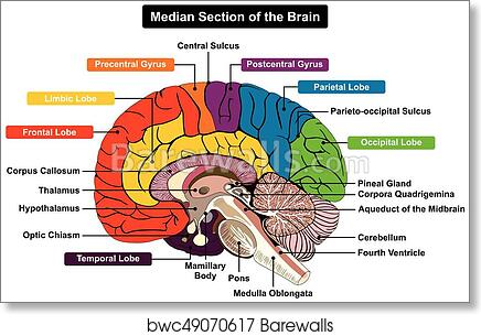 Art print of median section of human brain diagram barewalls art print of median section of human brain diagram barewalls posters prints bwc49070617 ccuart Images