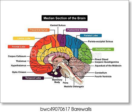 Art Print of Median Section of Human Brain Diagram ...