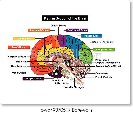 Art Print of Median Section of Human Brain Diagram | Barewalls ...