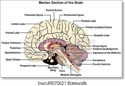 Art Print Of Median Section Of Human Brain Diagram Barewalls