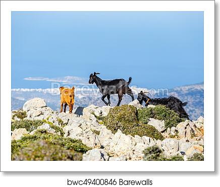 Domestic Goat In The Mountains On Crete Island Greece Art Print Poster