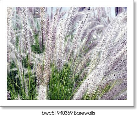 Pennisetum Or Purple Fountain Grass In Field For Backgrounds Art