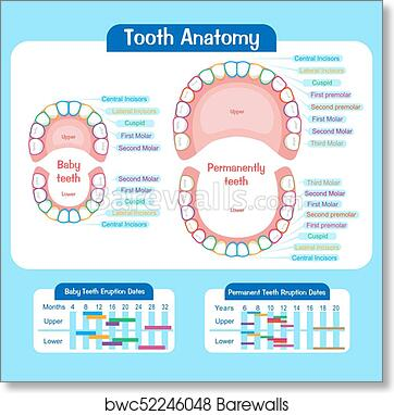photo about Baby Tooth Chart Printable called Youngster teeth chart artwork print poster
