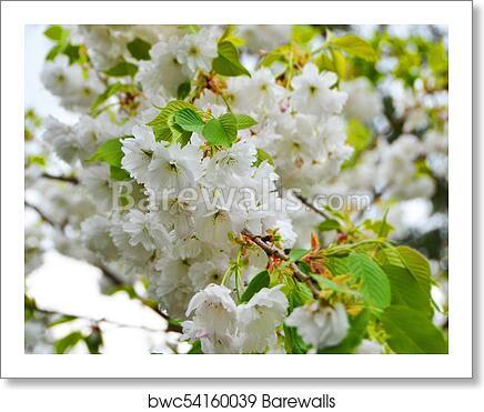 Cerasus Serrulata Japanese Flowering Cherry Art Print