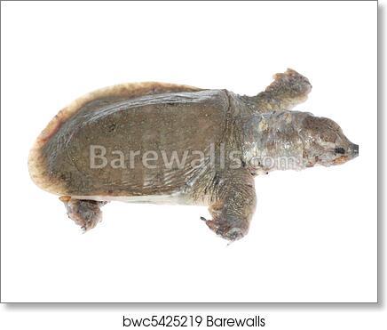 Turtle dead of white spot disease art print poster