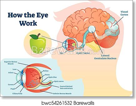 Art print of how eye work medical illustration eye brain diagram art print of how eye work medical illustration eye brain diagram barewalls posters prints bwc54261532 ccuart Image collections