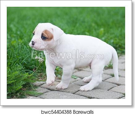 American Bulldog Coat Goldenacresdogs Com