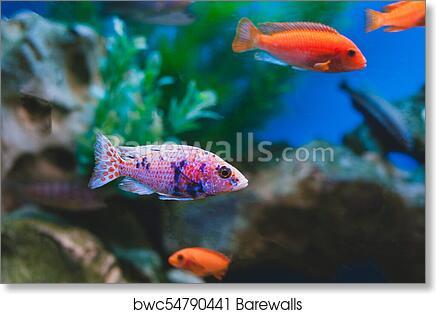 Art Print Of Aquarium Fish Cichlids Fish From The Family