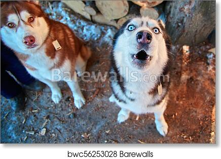 Muzzle Howling Dog Top View Funny Siberian Husky Howls With His