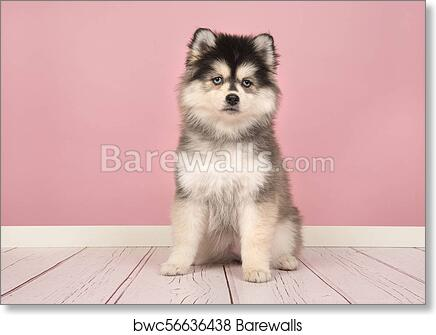 Art Print of Cute pomsky puppy sitting and looking at the camera in ...