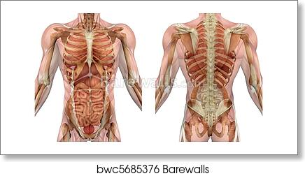 Muscles Of Torso Amazon Com Amitd Superficial Muscles Anatomy Color Isolated The Human Torso Model Of Full Body Torso Anatomical Motion Model Human Anatomy Model Sports Outdoors Learn Vocabulary Terms
