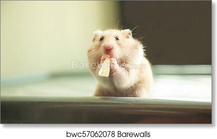 Cute Orange and White Syrian or Golden Hamster (Mesocricetus auratus)  eating pet food  Taking Care, Mercy, Domestic Pet Animal Concept  art print