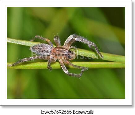 A Yellow Sac Spider With Prey Art Print Poster
