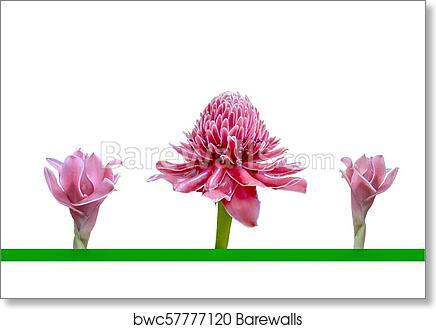 Art print of three pink flowers of etlingera elatior or torch ginger art print of three pink flowers of etlingera elatior or torch ginger isolated mightylinksfo