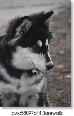 Art Print Of Cute Siberian Husky Dog With Black And White Fur